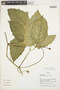 Psiguria ternata (M. Roem.) C. Jeffrey, PERU, J. Graham 251, F