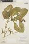 Psiguria ternata (M. Roem.) C. Jeffrey, PERU, J. Schunke Vigo 6675, F