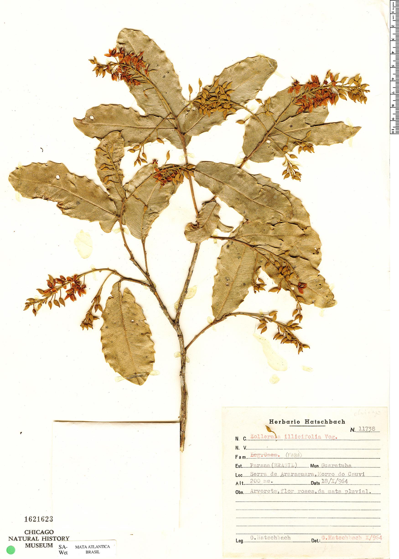 Specimen: Zollernia ilicifolia