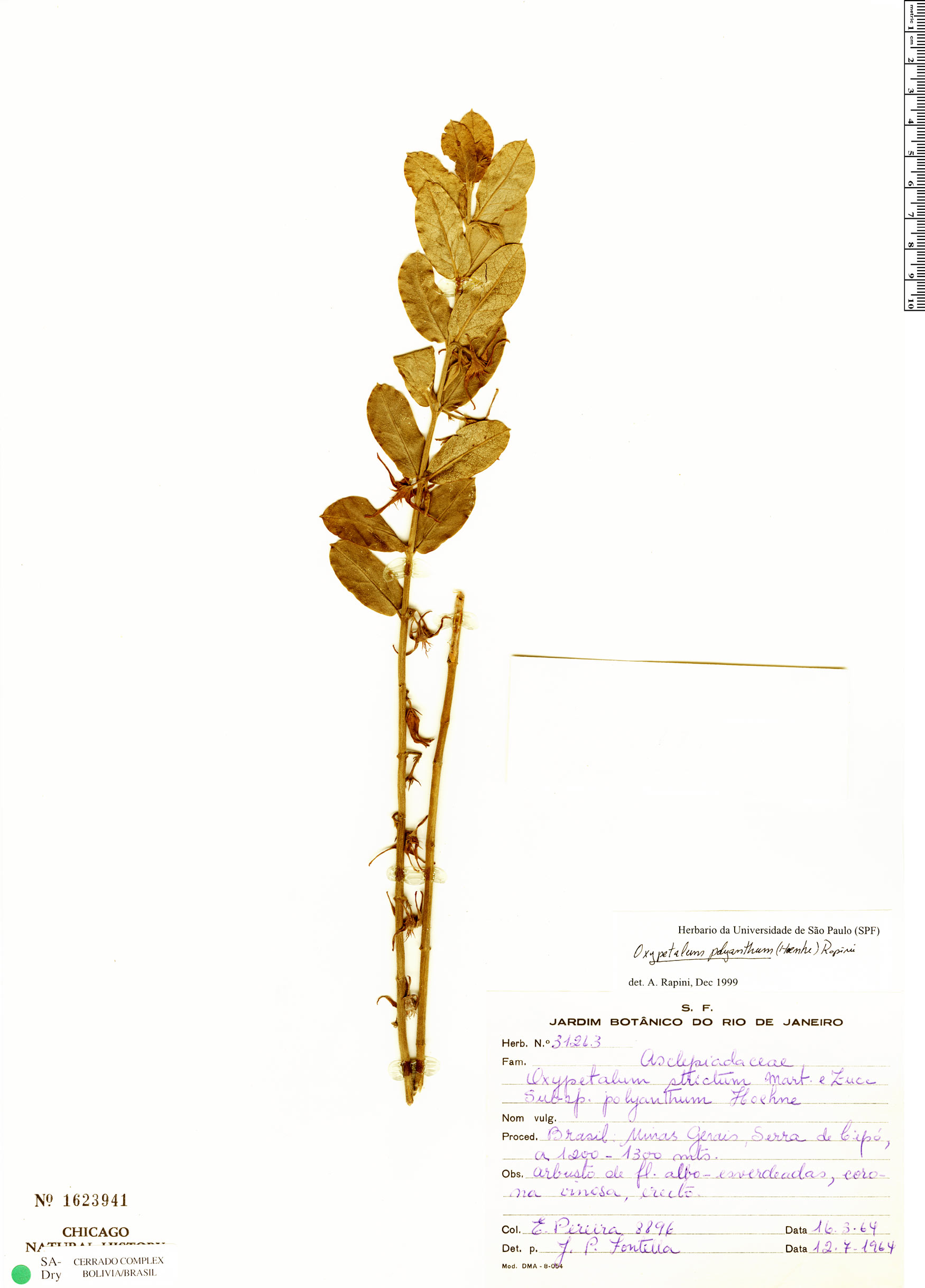 Specimen: Oxypetalum polyanthum