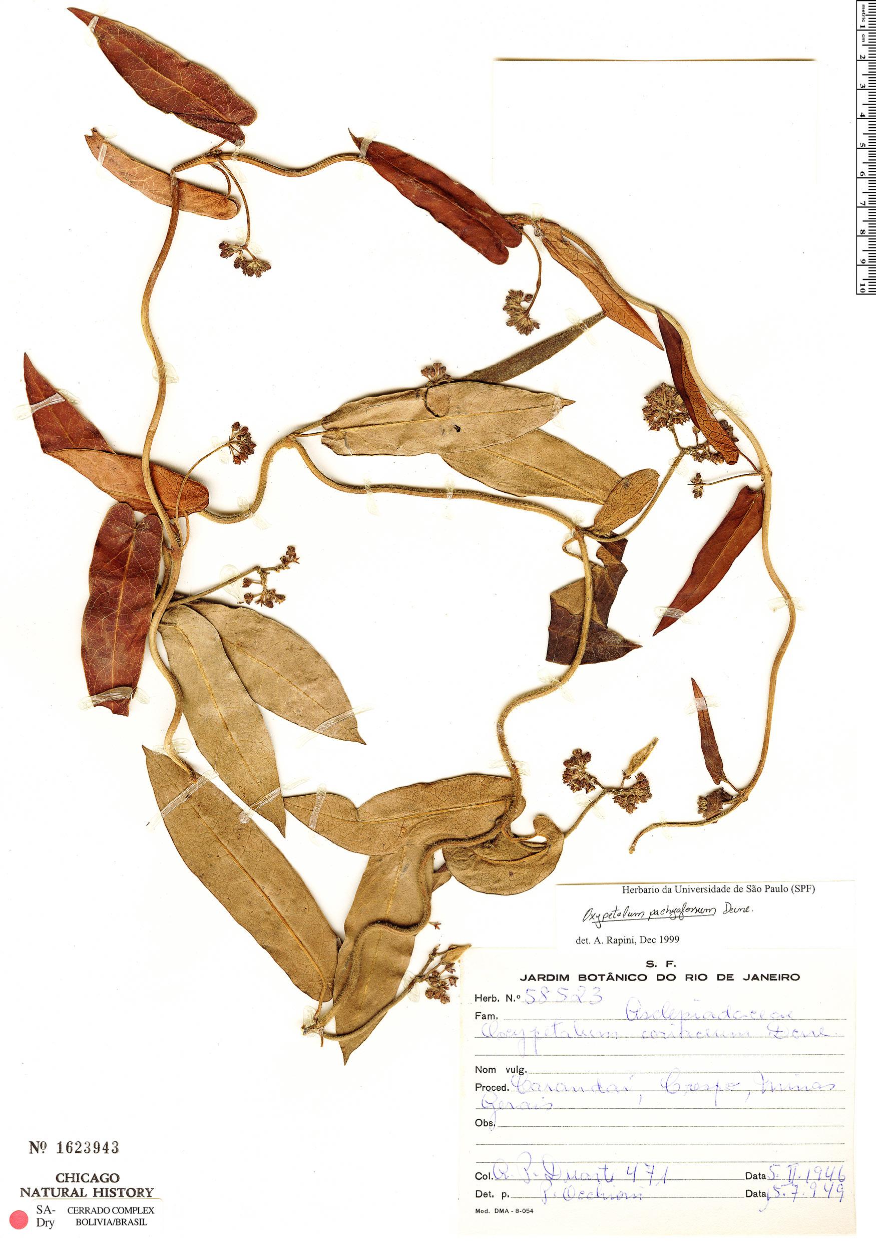 Specimen: Oxypetalum pachyglossum