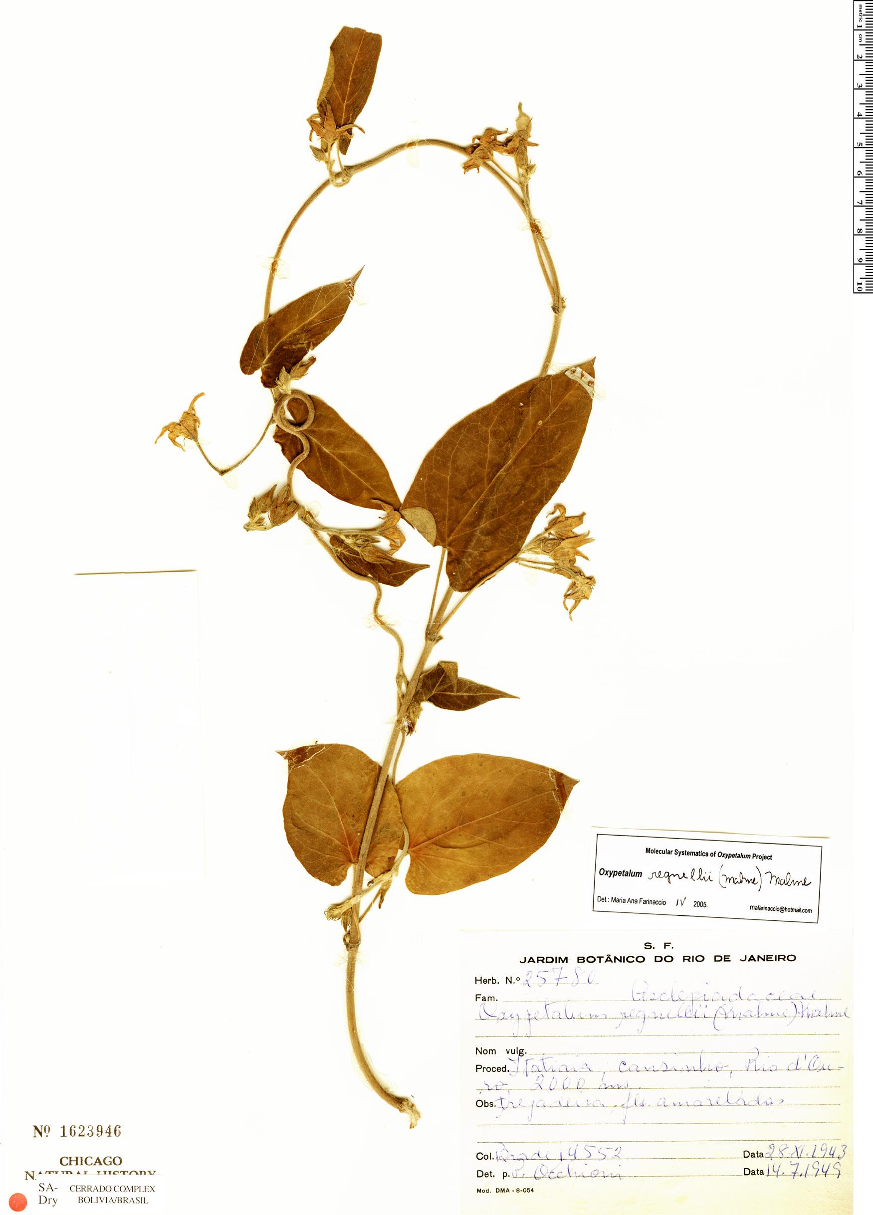 Specimen: Oxypetalum regnellii
