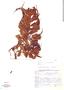 Salvinia oblongifolia, Brazil, Gomes 828, F