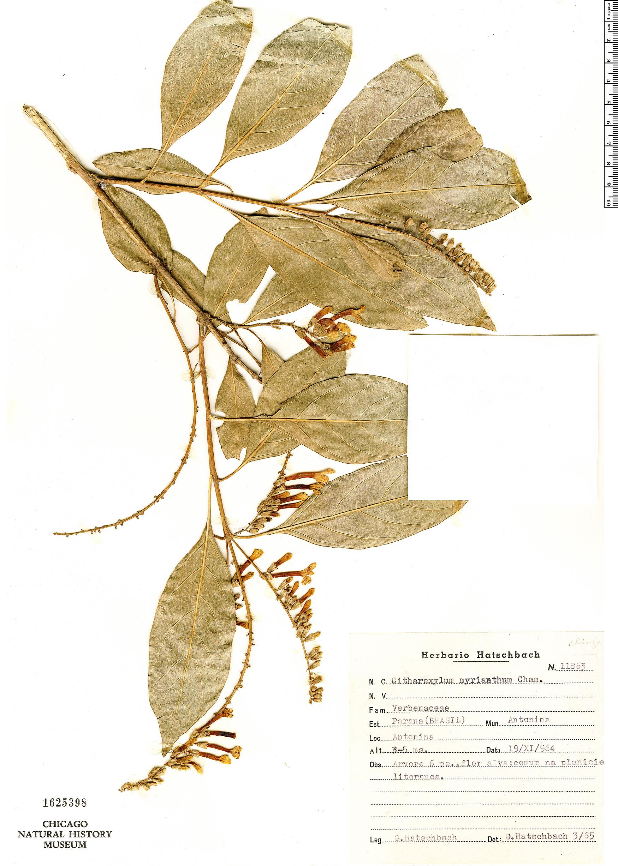 Specimen: Citharexylum myrianthum