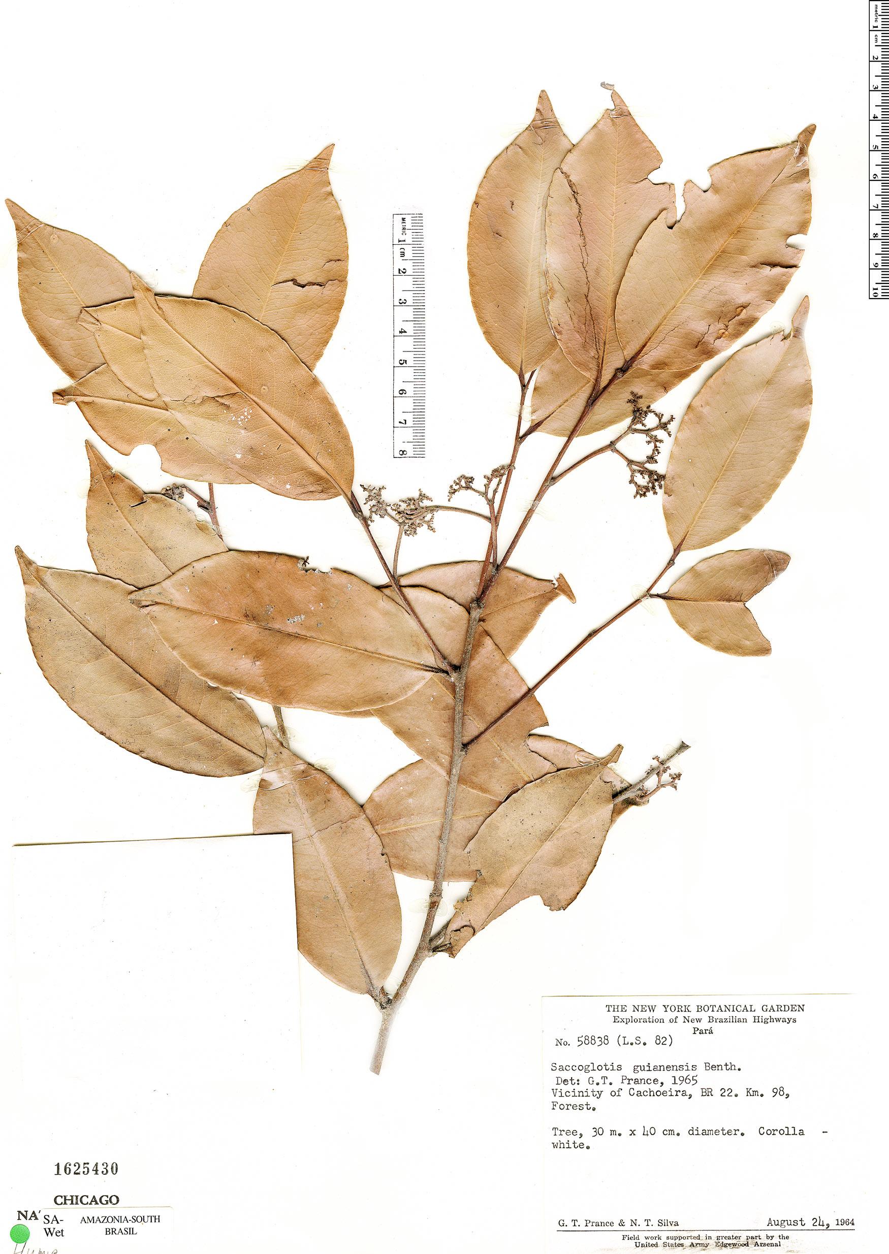 Specimen: Sacoglottis guianensis