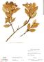 Forsteronia guyanensis Müll. Arg., Brazil, G. T. Prance 58756, F