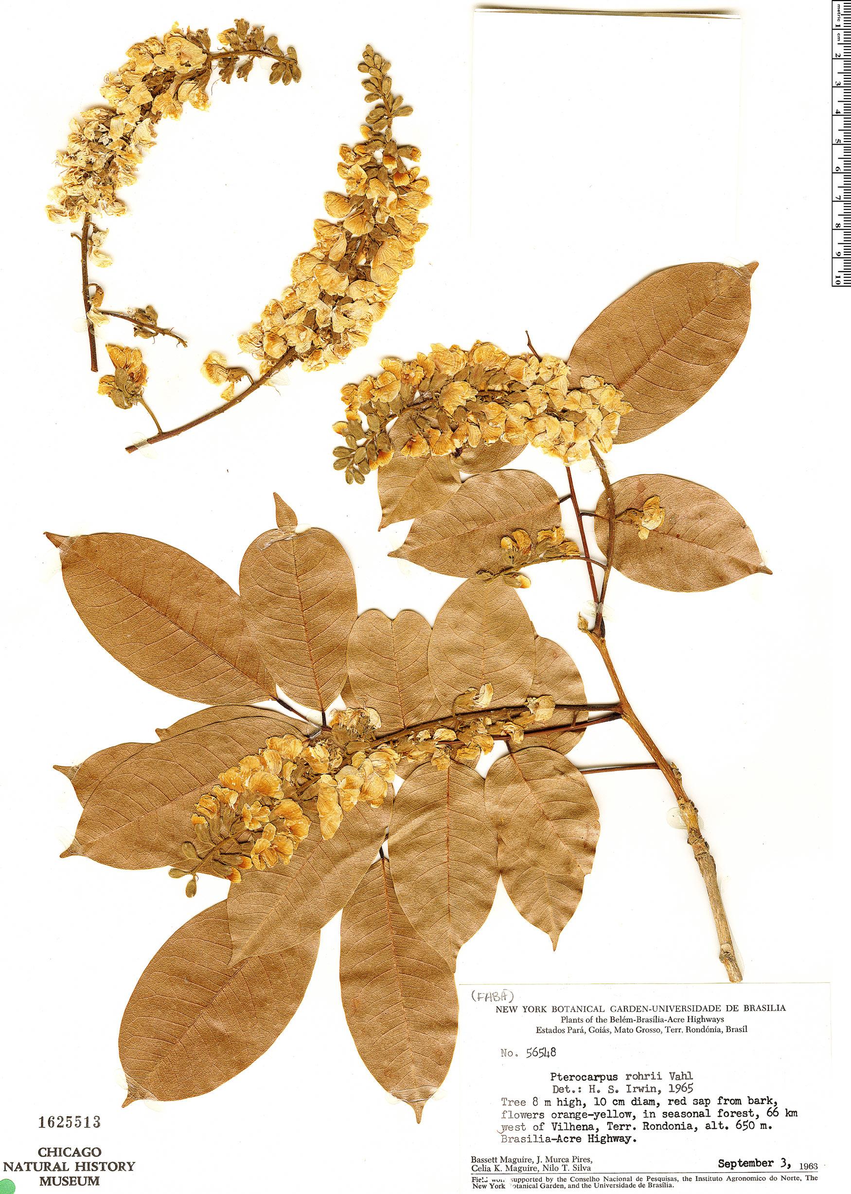 Espécime: Pterocarpus rohrii