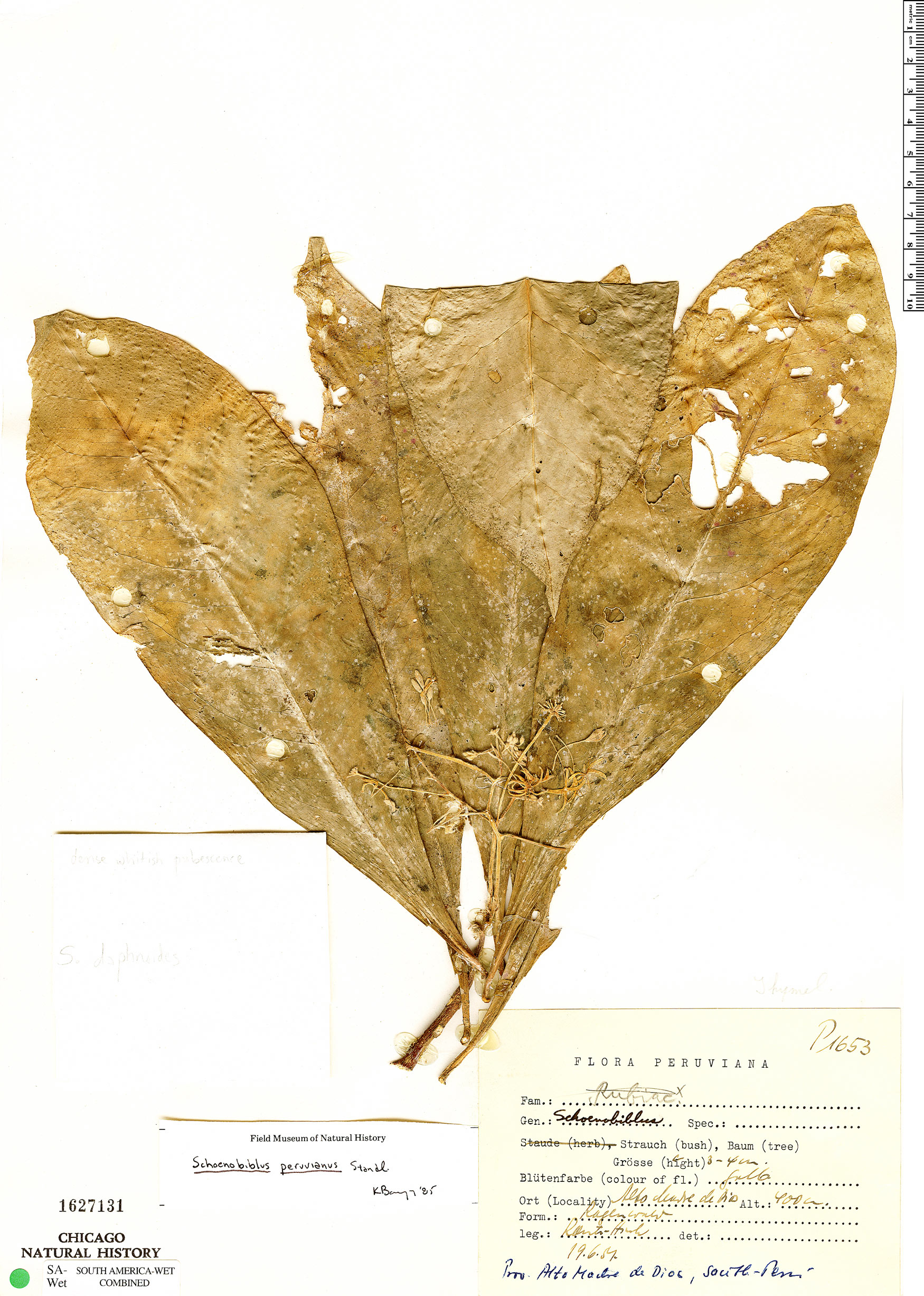 Specimen: Schoenobiblus peruvianus