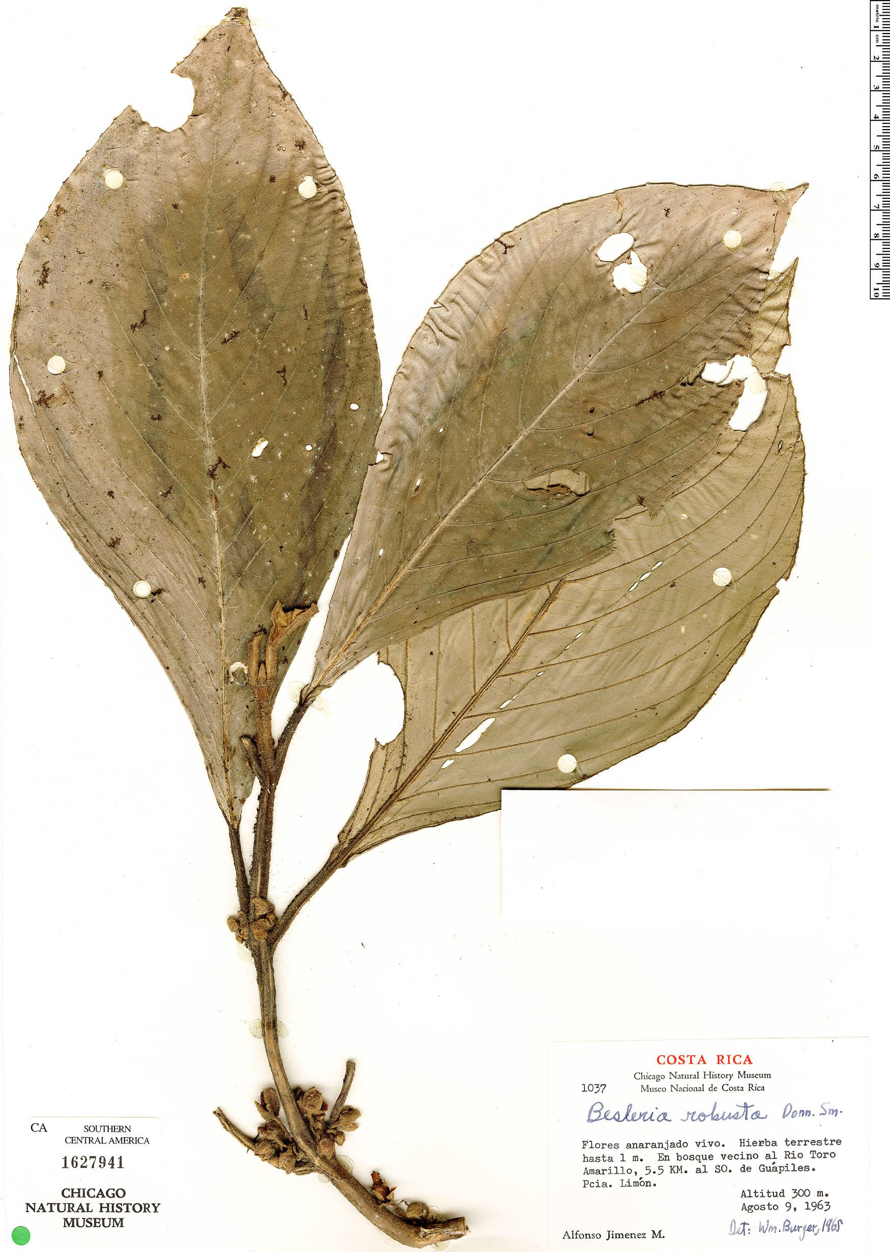 Specimen: Besleria robusta