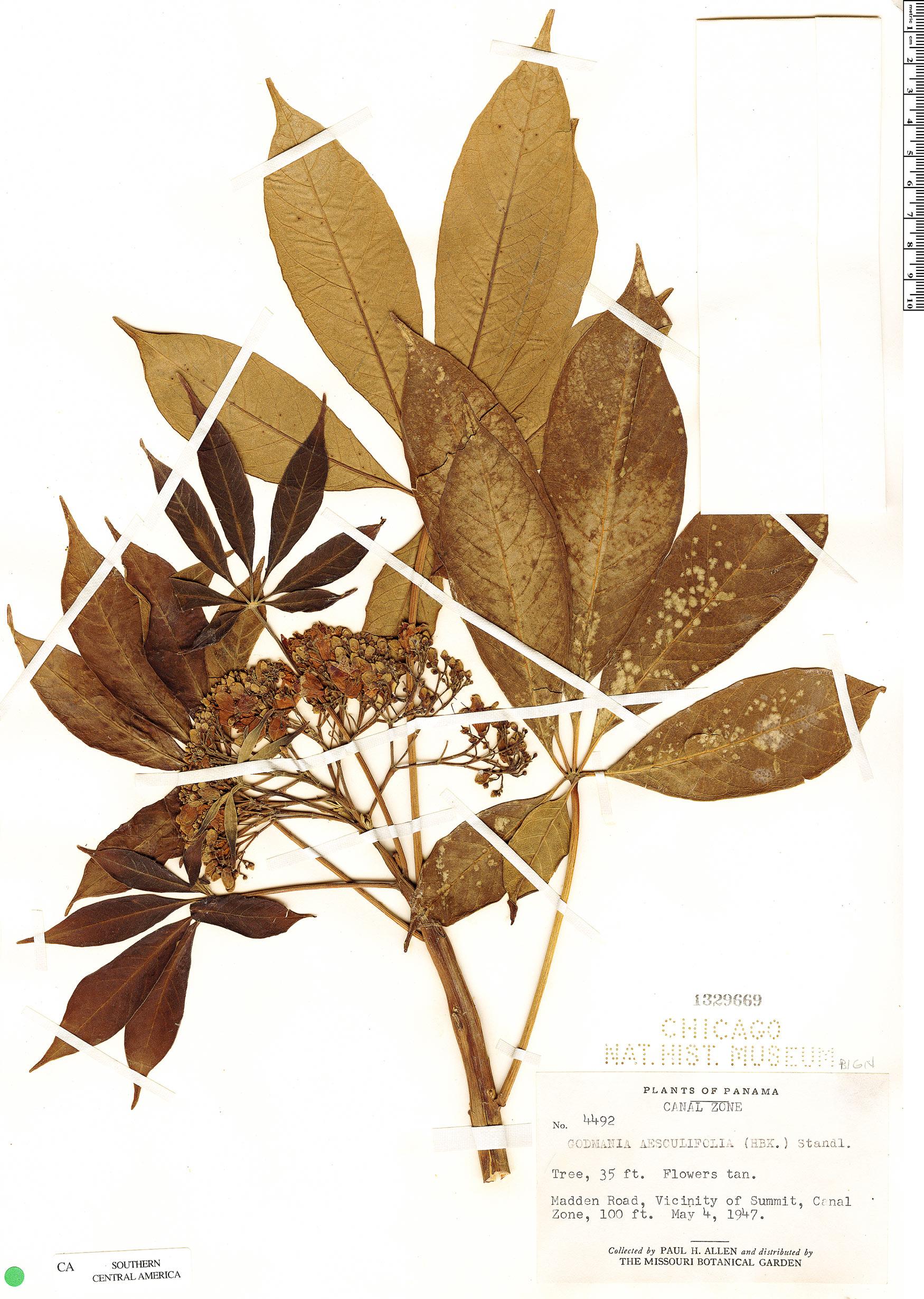Specimen: Godmania aesculifolia