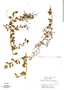 Lawsonia inermis image
