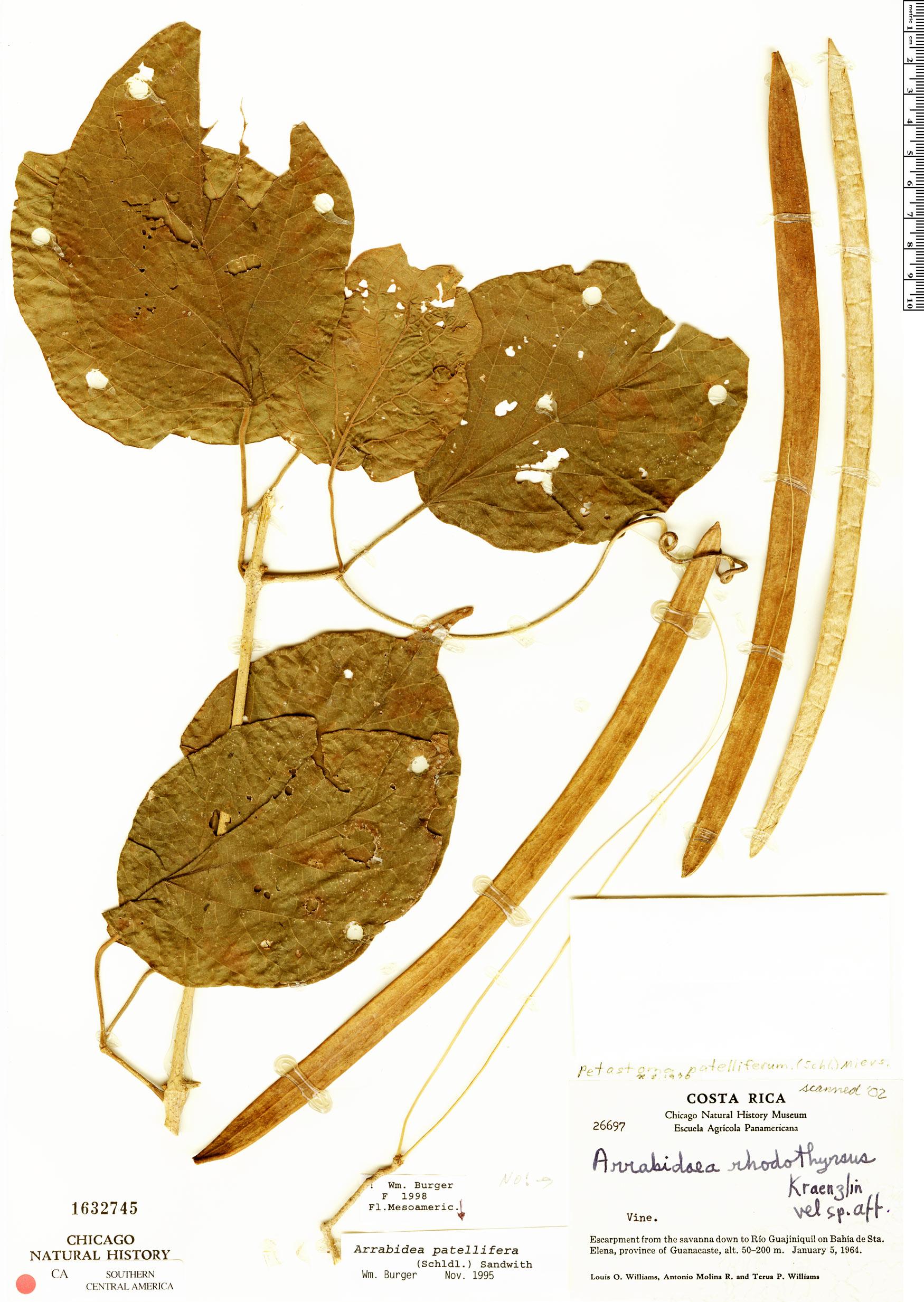 Specimen: Fridericia patellifera