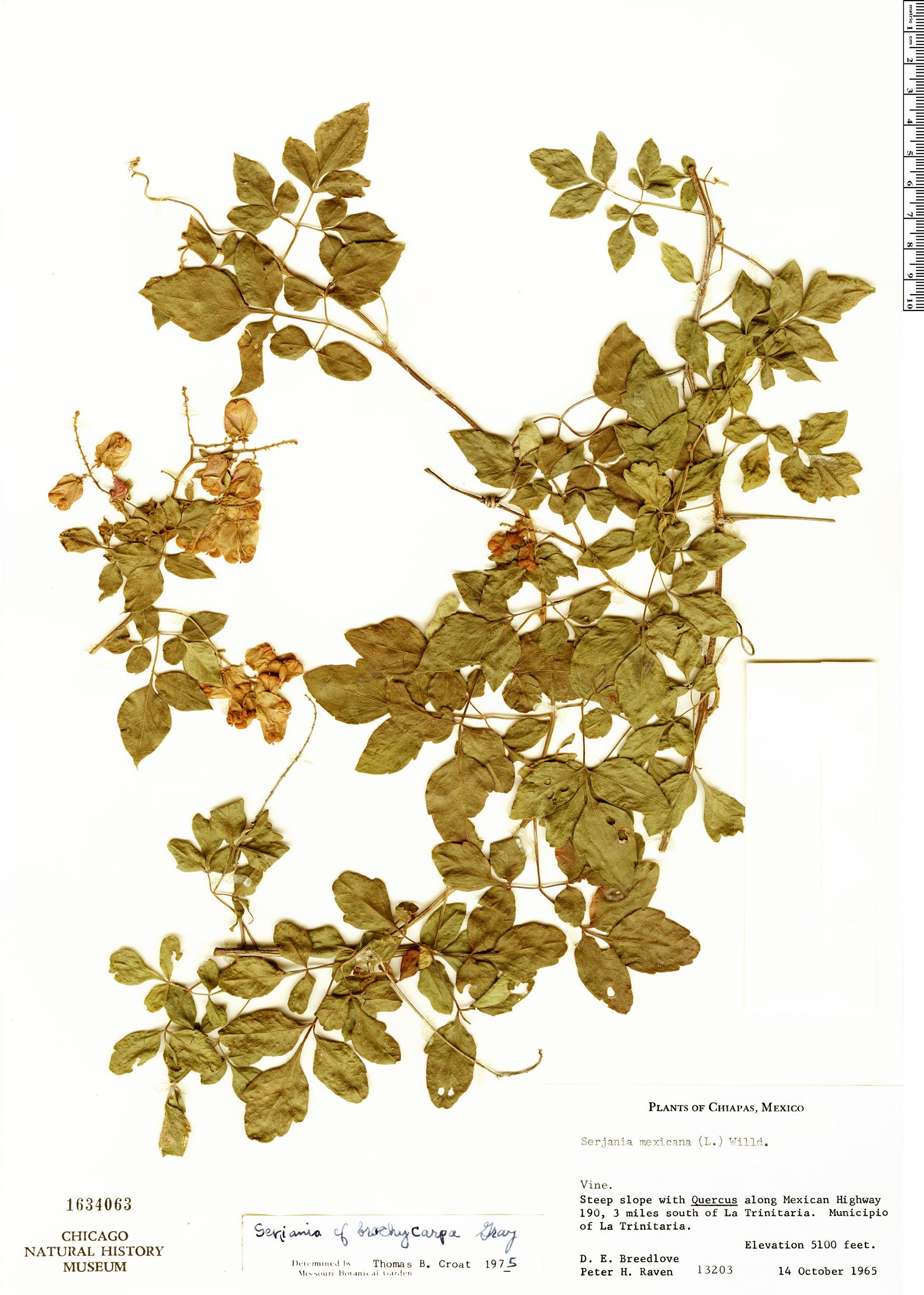 Espécime: Serjania brachycarpa