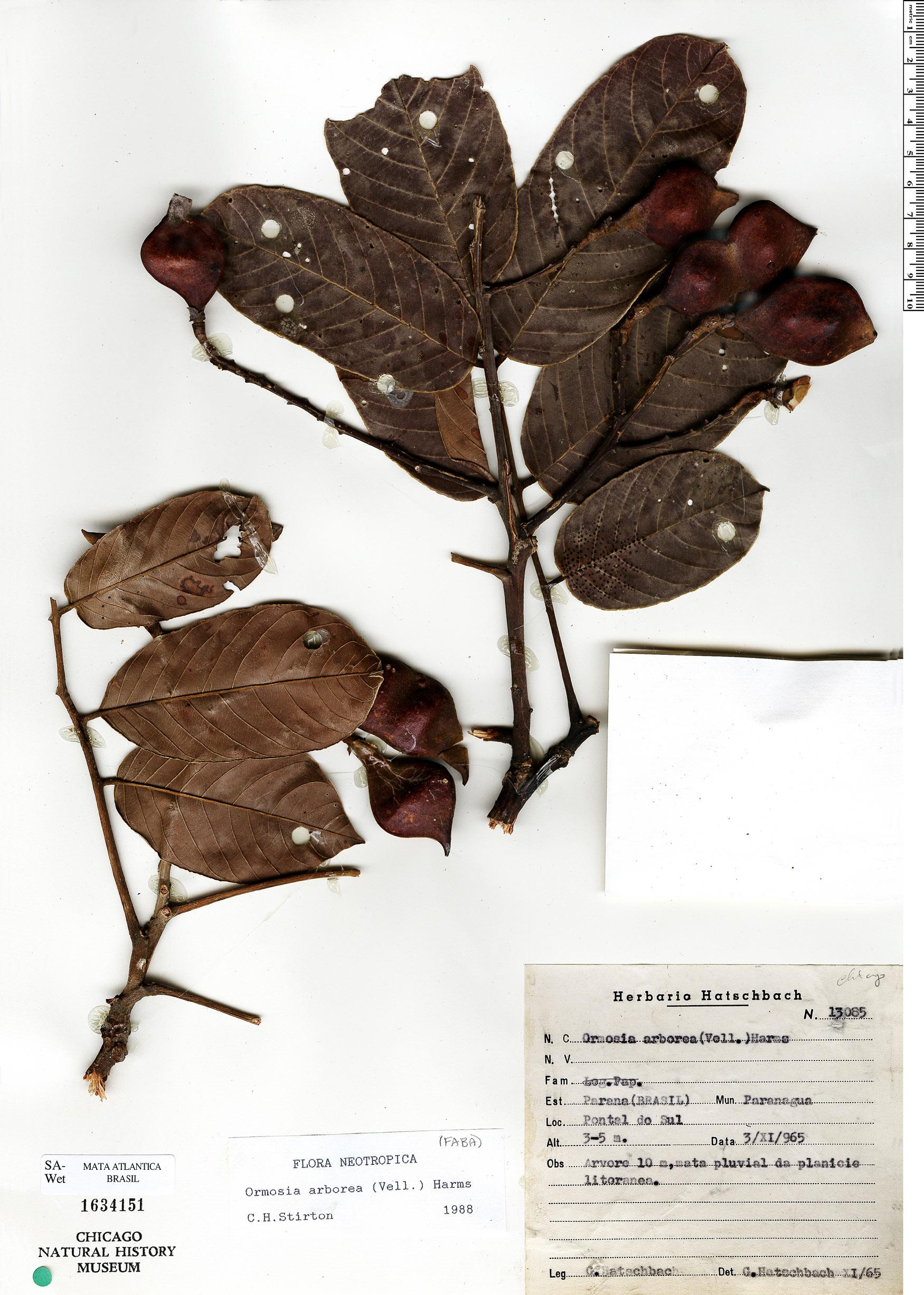 Specimen: Ormosia arborea