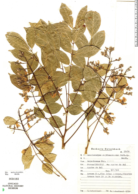 Specimen: Dahlstedtia floribunda