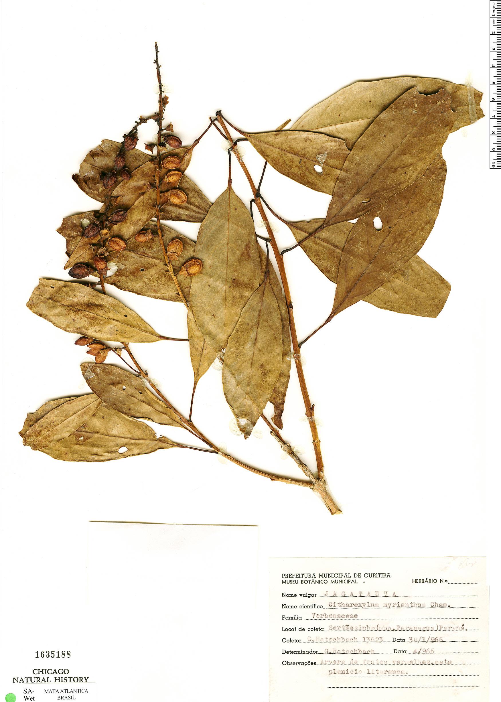 Espécimen: Citharexylum myrianthum