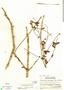 Jacaranda caucana subsp. sandwithiana A. H. Gentry, Costa Rica, A. Molina R. 18187, F