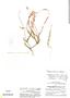 Polygala boliviensis A. W. Benn., Peru, P. C. Hutchison 5163, F