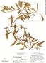 Baccharis trinervis Pers., P. C. Hutchison 4464, F