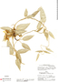 Prestonia mollis Kunth, P. C. Hutchison 5415, F