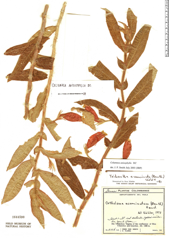 Espécime: Columnea anisophylla