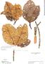 Couma macrocarpa Barb. Rodr., Colombia, R. E. Schultes 5365, F