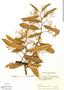 Virola carinata, Colombia, R. E. Schultes 17006, F