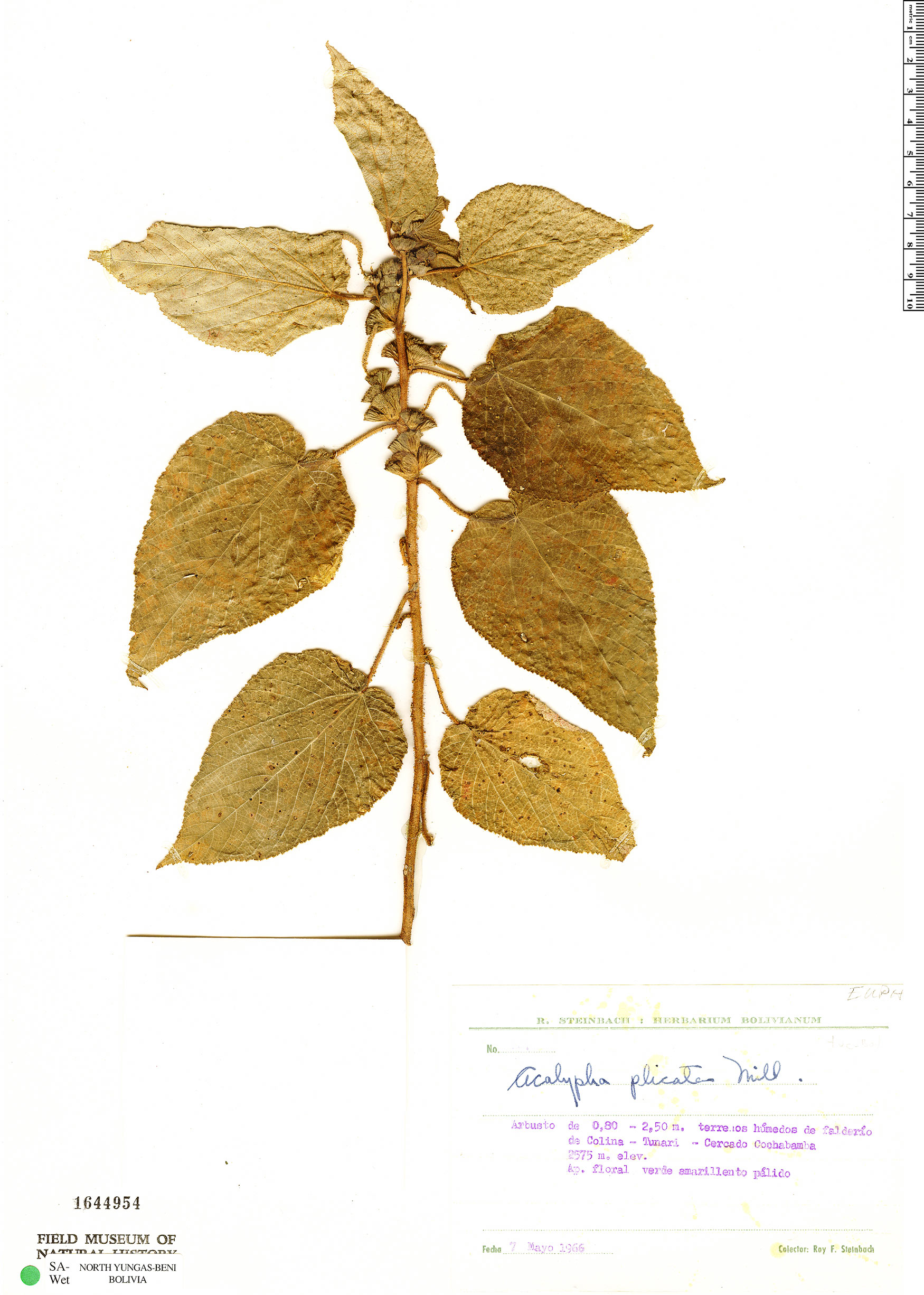 Espécimen: Acalypha plicata
