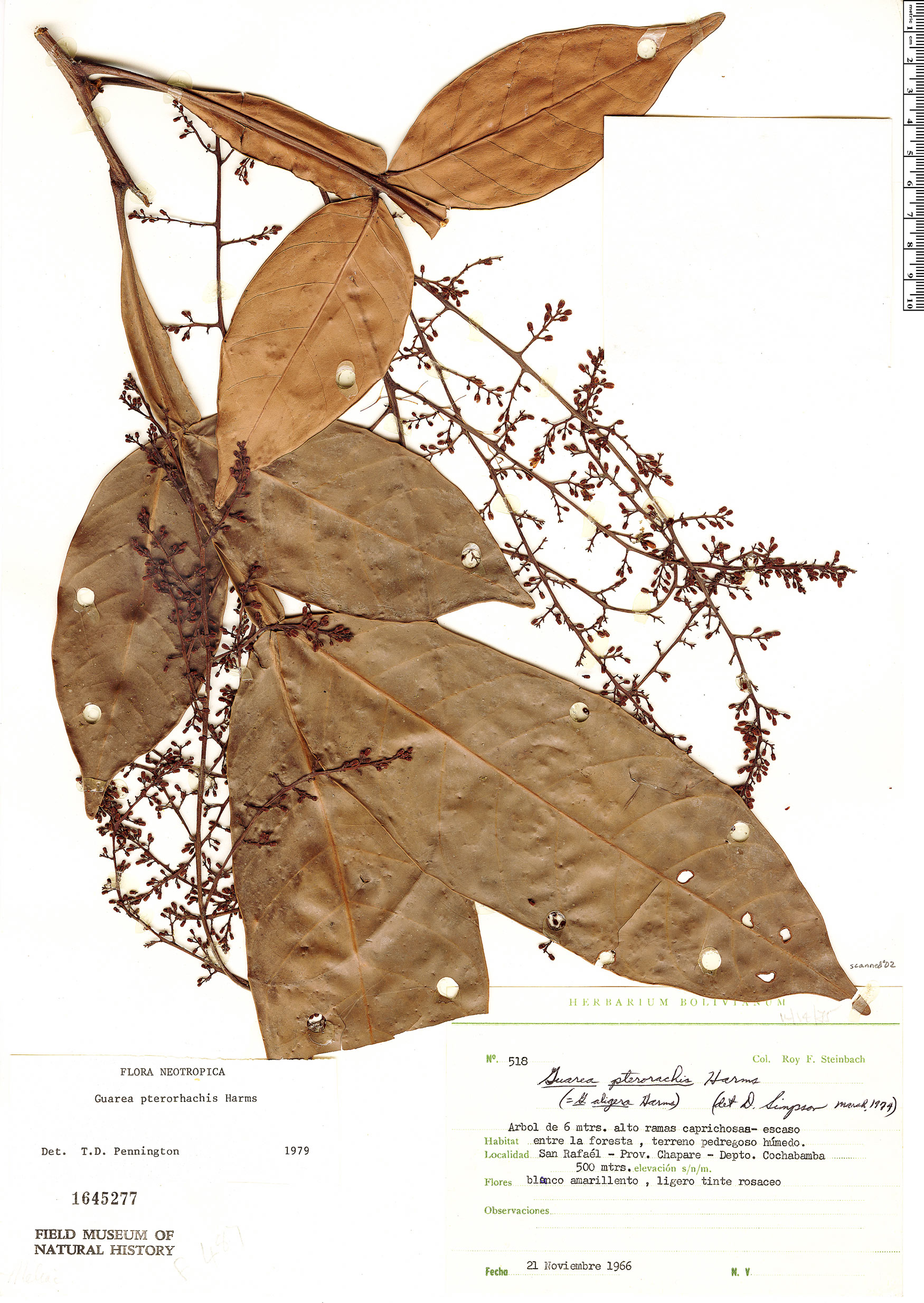 Specimen: Guarea pterorhachis