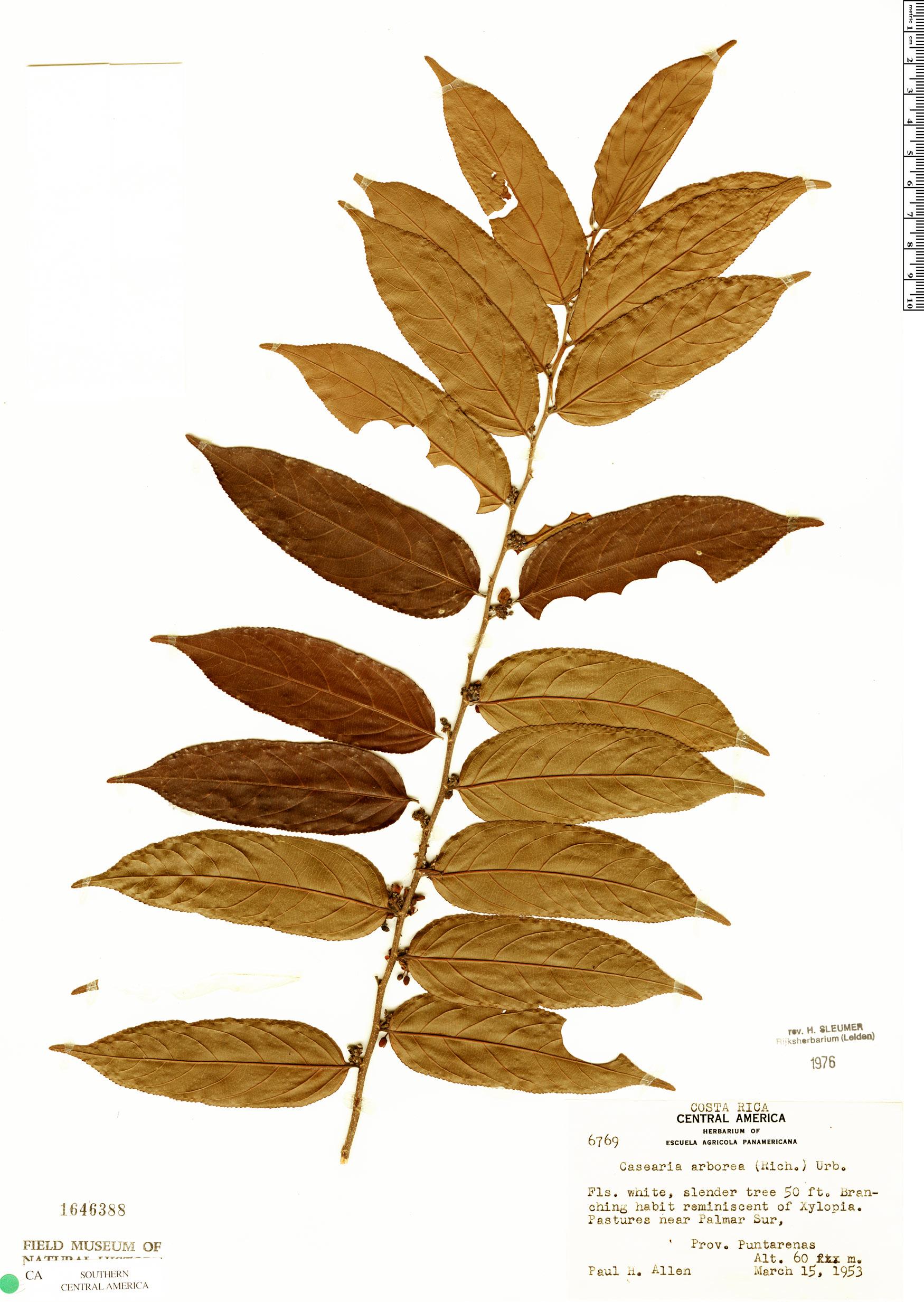 Specimen: Casearia arborea