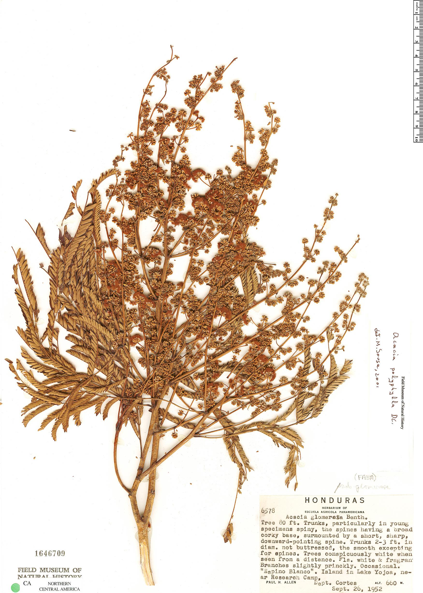 Specimen: Senegalia polyphylla