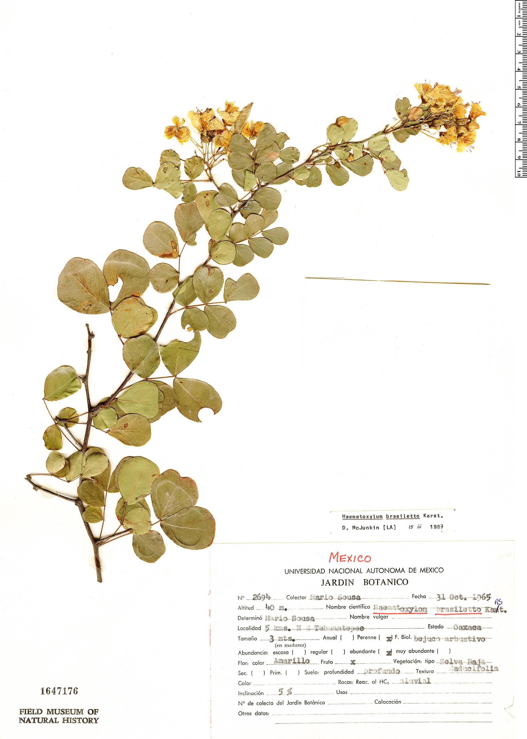 Haematoxylum brasiletto image