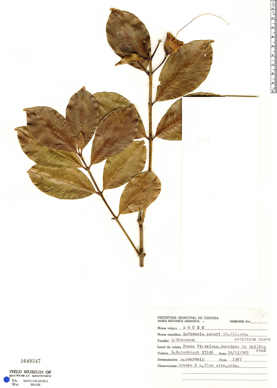 Specimen: Lafoensia pacari