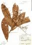 Myrcia hexasticha Kiaersk., Brazil, G. G. Hatschbach 13139, F