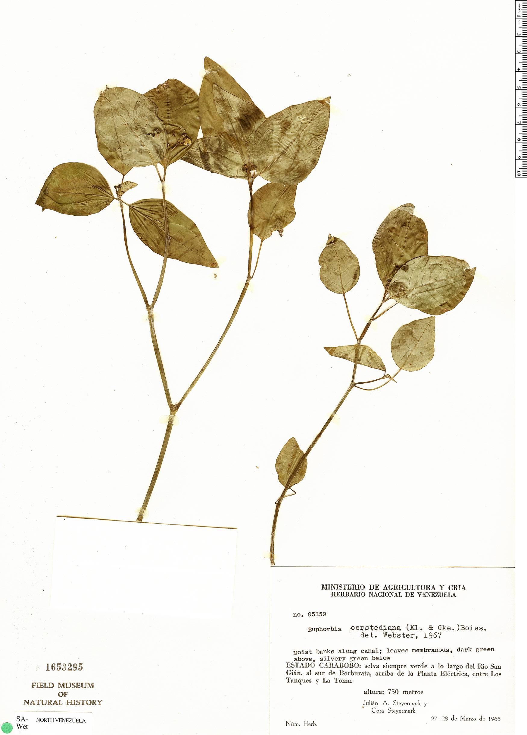 Specimen: Euphorbia oerstediana