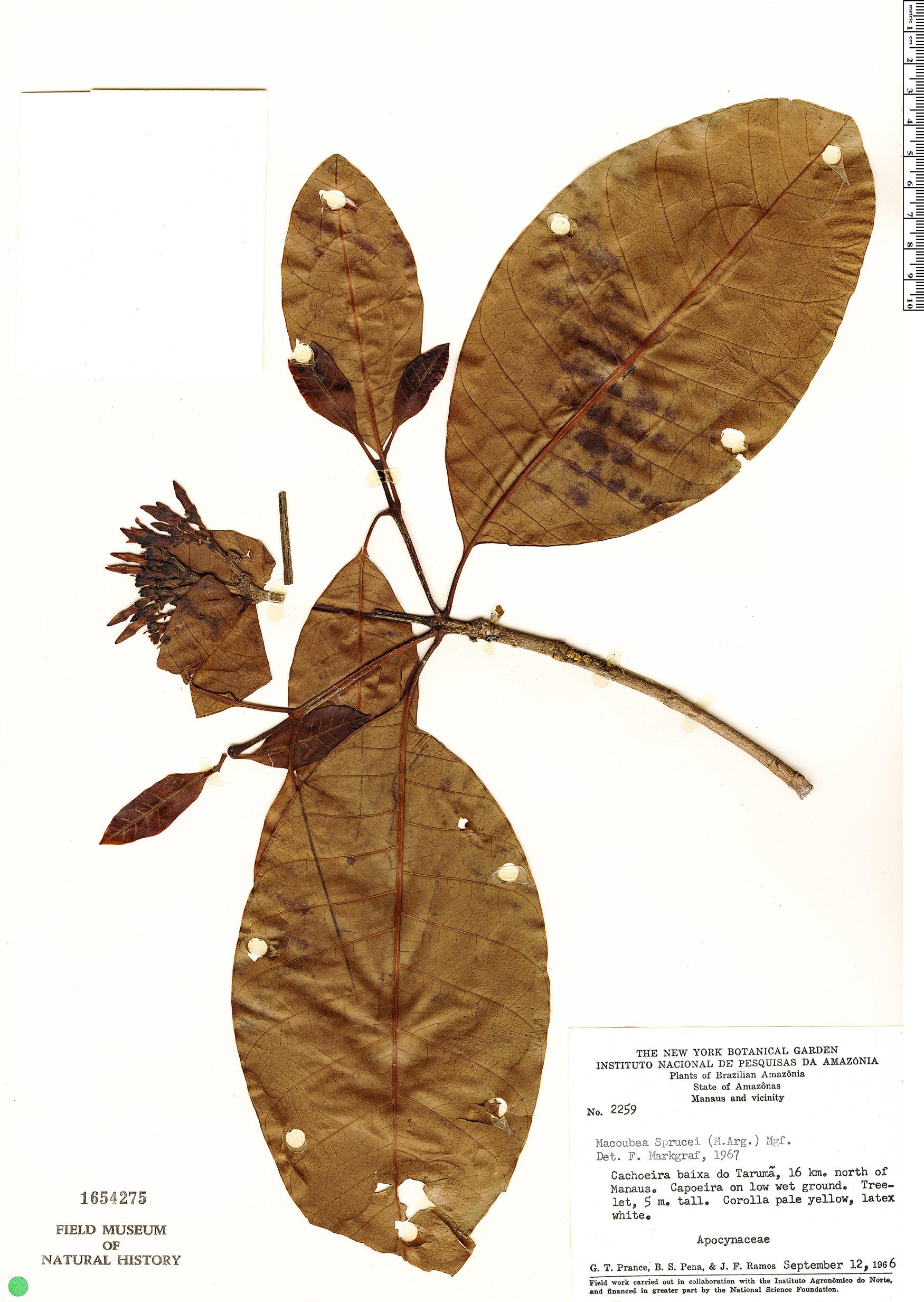 Specimen: Macoubea sprucei