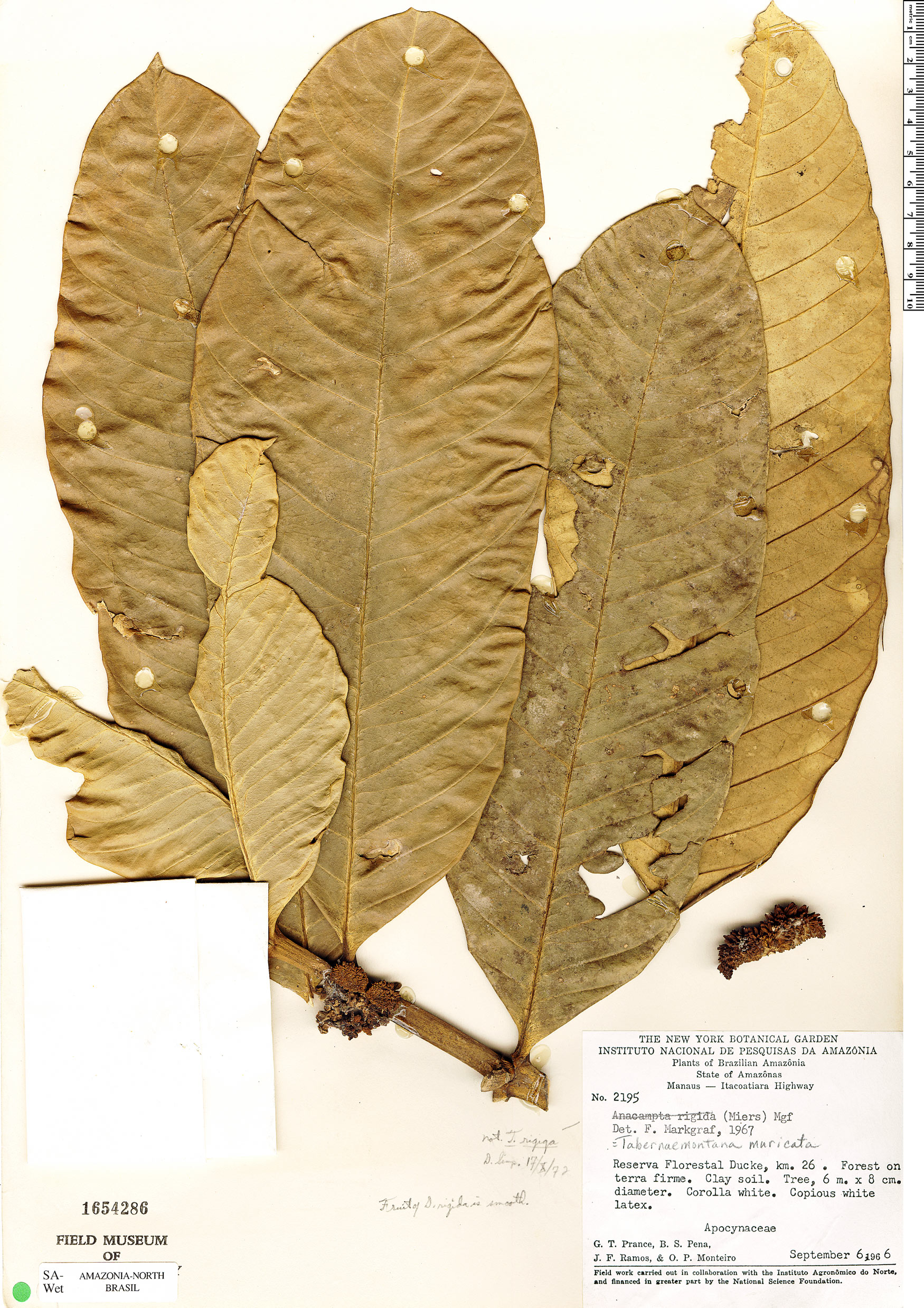 Specimen: Tabernaemontana muricata