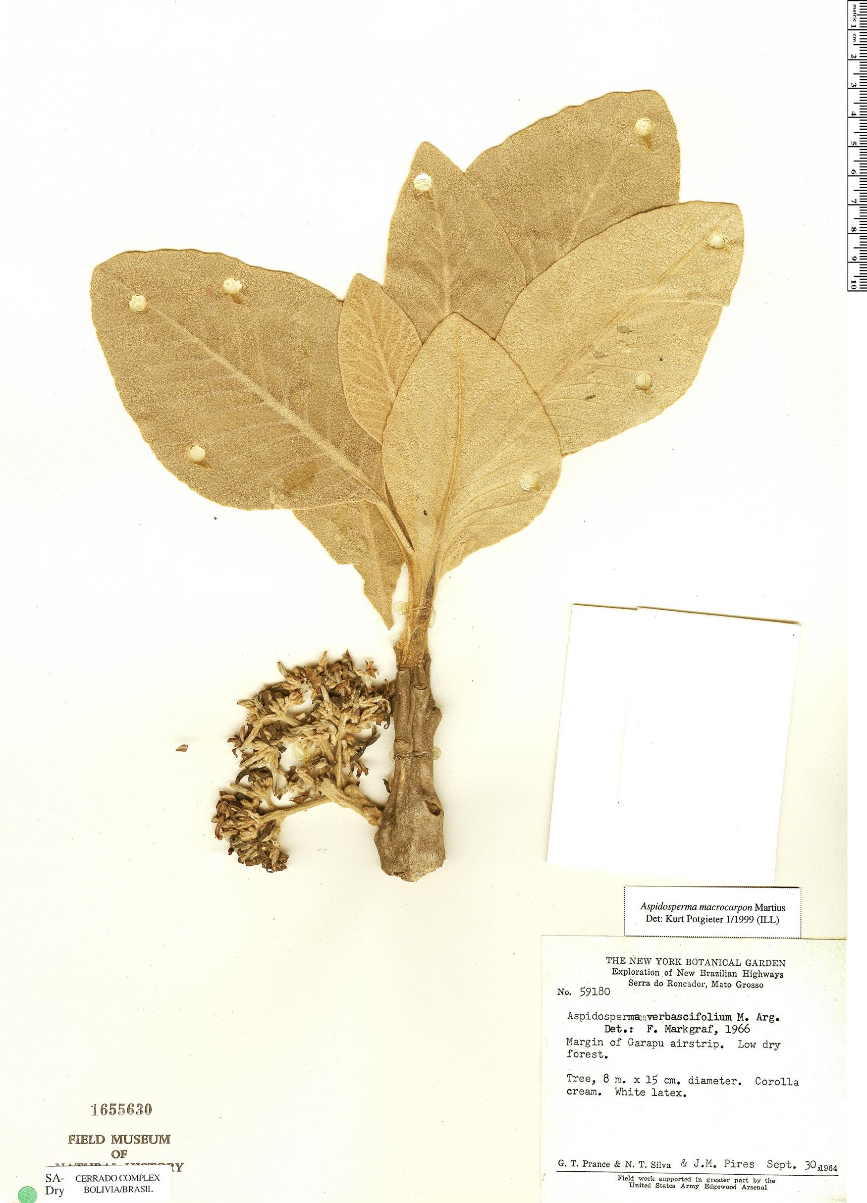 Specimen: Aspidosperma verbascifolium