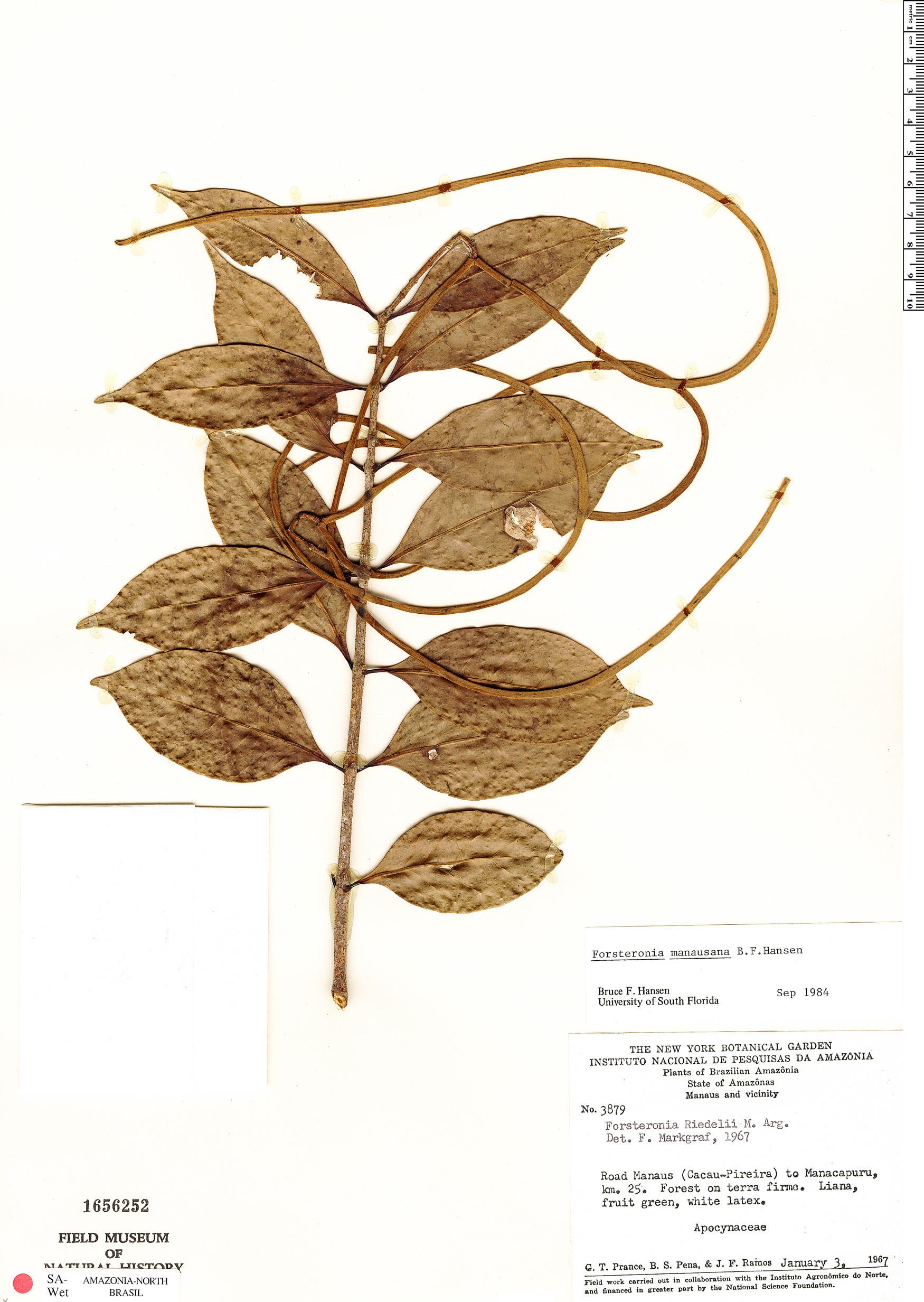 Specimen: Forsteronia manausana