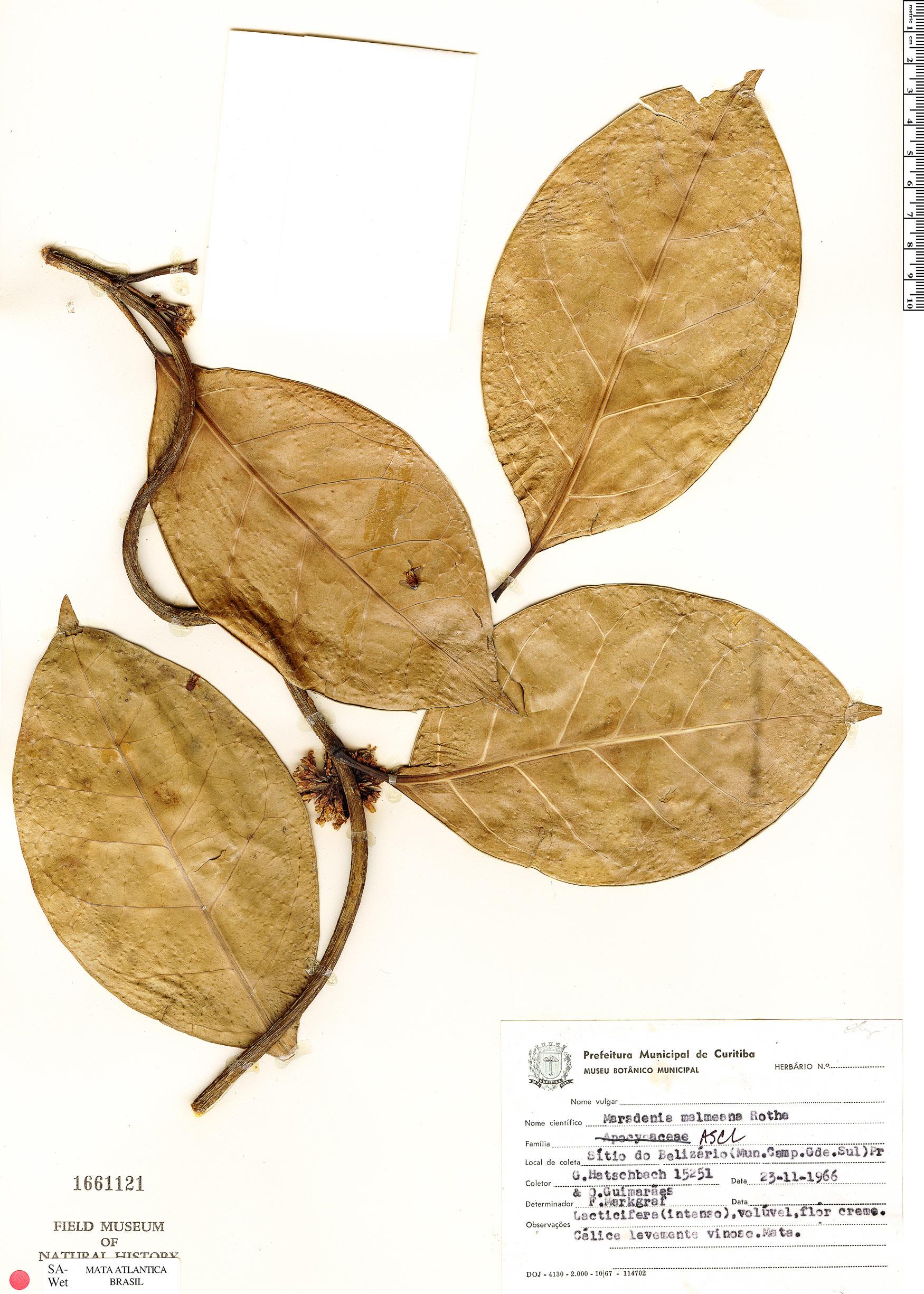 Specimen: Marsdenia malmeana