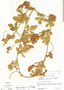 Paullinia fuscescens var. fuscescens, Nicaragua, G. S. Bunting 715, F