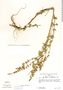 Salvia misella Kunth, G. Edwin 3778, F