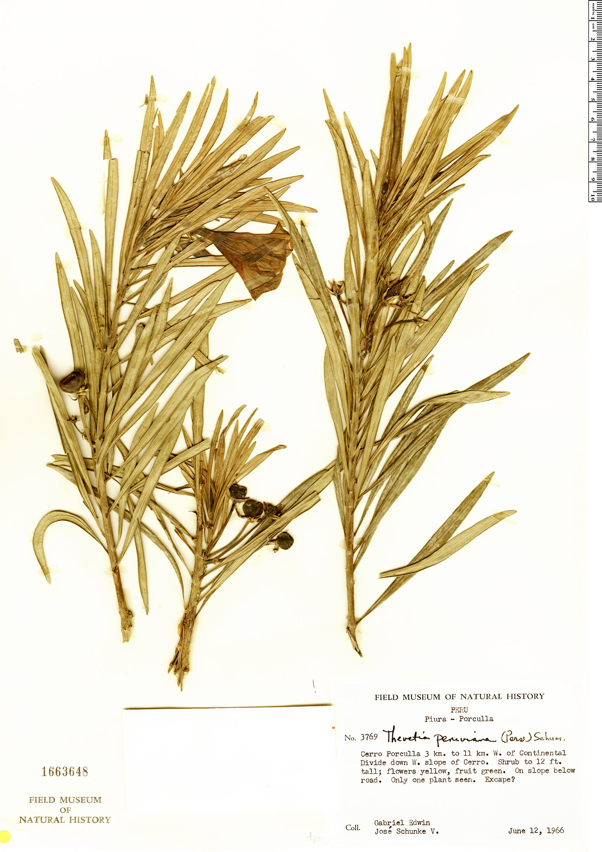 Specimen: Thevetia peruviana
