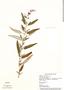 Salvia leucantha Cav., Mexico, M. Rosas 673, F