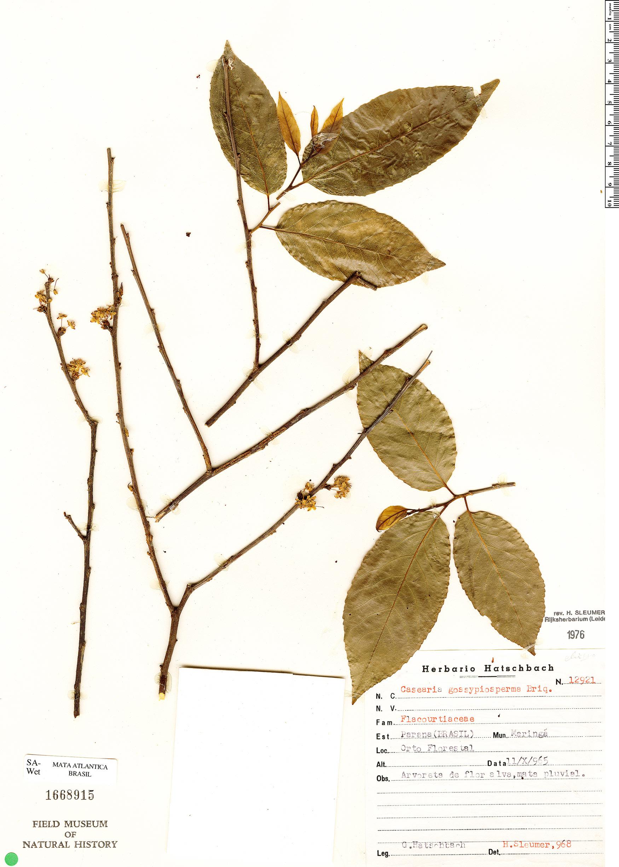 Specimen: Casearia gossypiosperma