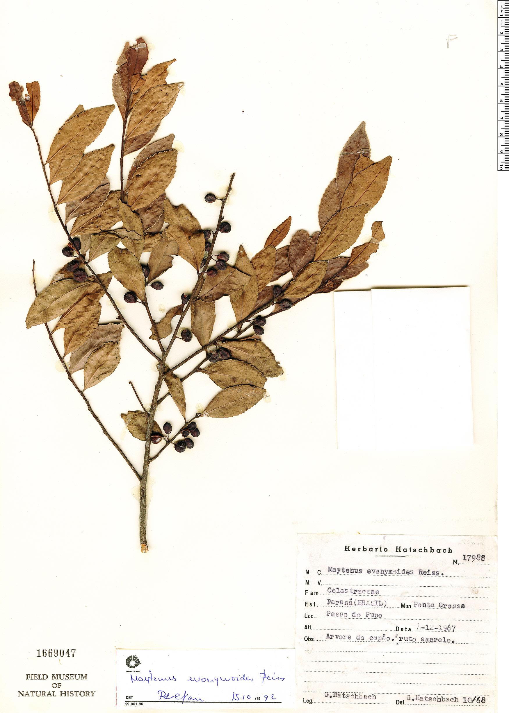 Specimen: Maytenus evonymoides