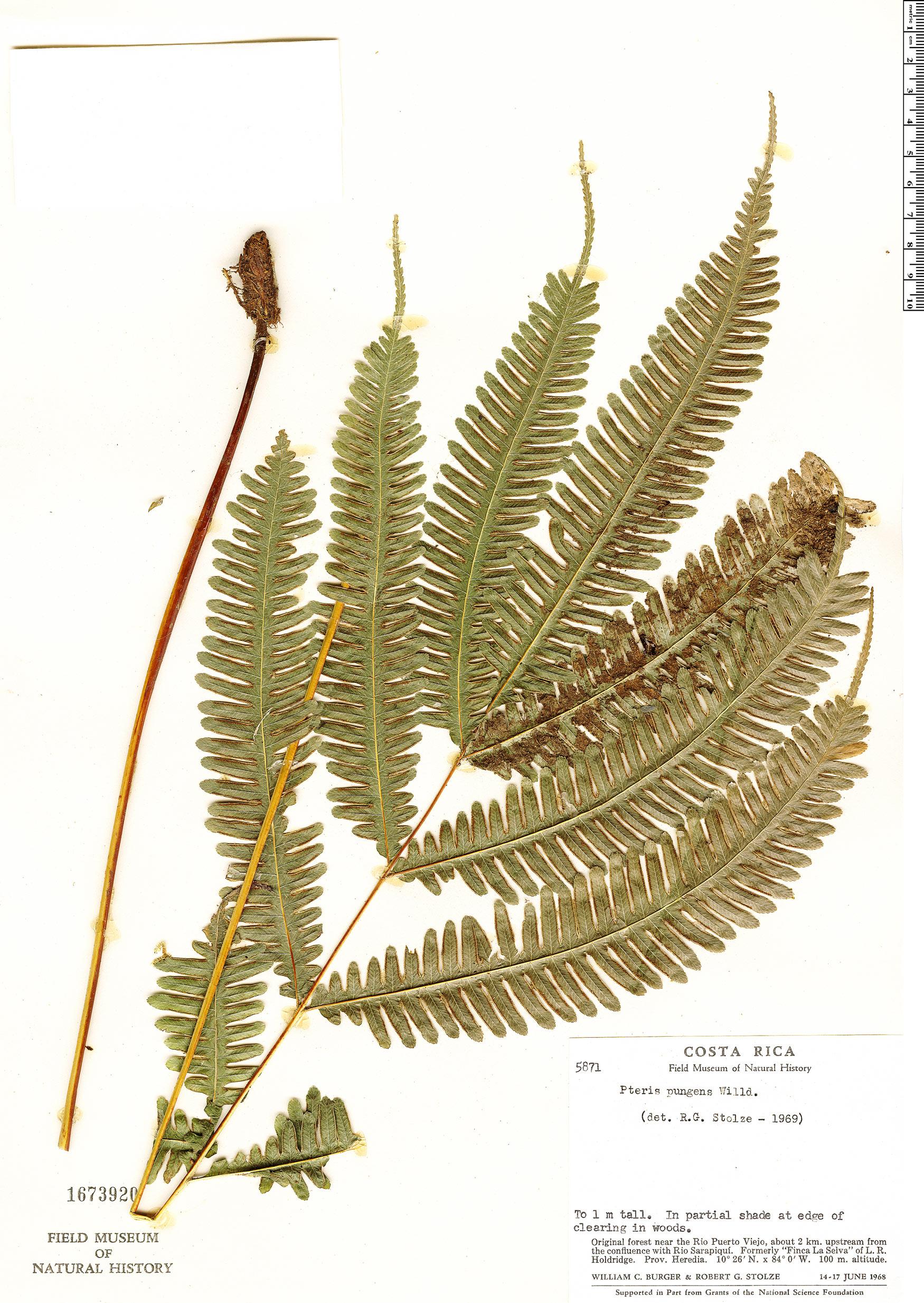 Espécimen: Pteris pungens