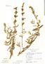 Salvia grisea Epling & Mathias, Peru, N. Angulo 1704, F