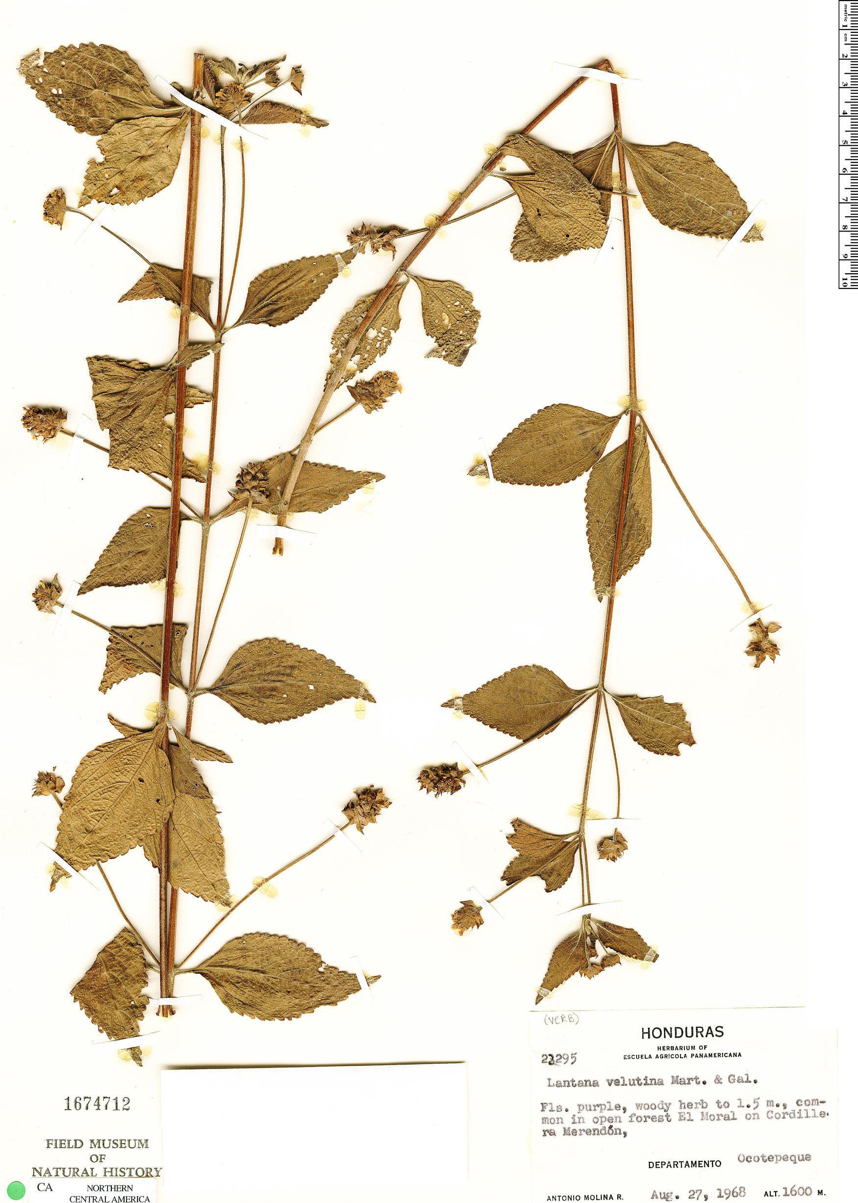 Lantana urticifolia image