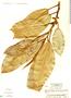 Ficus elastica Roxb., Honduras, A. Molina R. 21918, F